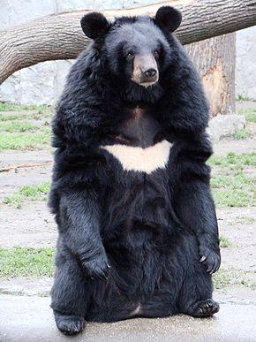 """Résultat de recherche d'images pour """"ours à collier"""""""