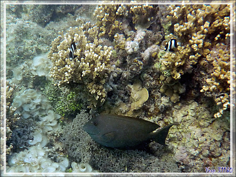 Chirurgien strié ou Maïto, Lined bristlethooth or Striated surgeonfish (Ctenochaetus striatus) - Moorea - Polynésie française