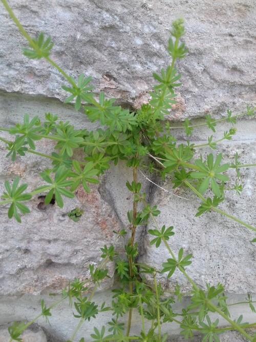 Gaillet des rochers ou Gallium saxatile  (Galium saxatile)