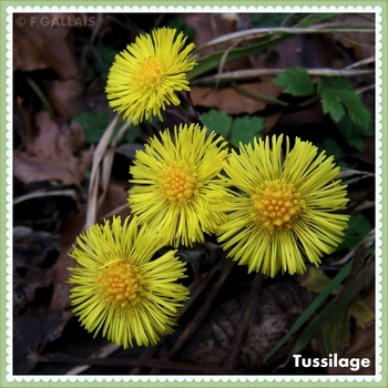 Tussilage-Tussilago farfara-04