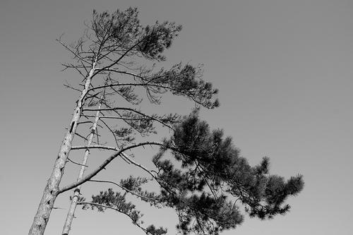 Seul l'arbre qui a subi les assauts de vent est vraiment vigoureux, car c'est dans cette lutte que ses racines, mises à l'épreuvre, se fortifient   SENEQUE