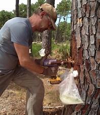 Résultat d'image pour récolte de la résine de pin. Taille: 138 x 160. Source: www.holiste.com
