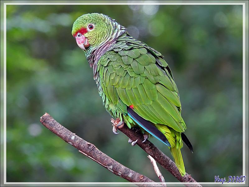 Perroquet Amazone vineuse, Vinaceous-breasted Amazon (Amazona vinacea) - Parque das Aves - Foz do Iguaçu - Brésil