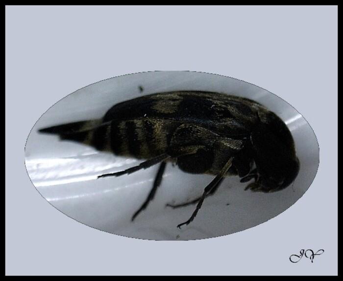 Mordelliidae.