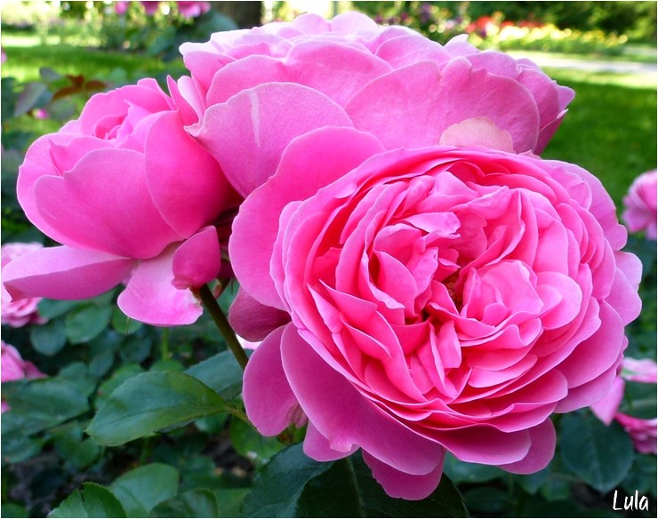 rosier Léonardo de Vinci