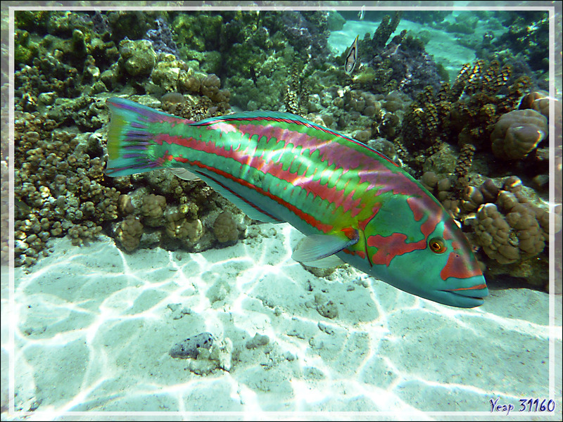Girelle hublot, Surge wrasse (Thalassoma purpureum) mâle - Jardin de corail - Motu Tautau - Taha'a - Polynésie française