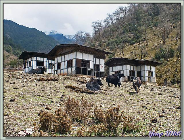 Blog de images-du-pays-des-ours : Images du Pays des Ours (et d'ailleurs ...), Yaks - Col Péléla (Pelela Pass), 3350 m - Bhoutan