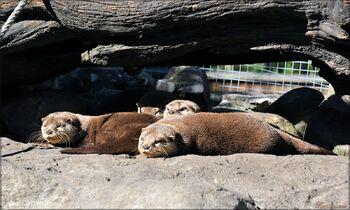 Photos des loutres du zoo de Pessac