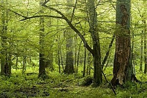 804778-big-old-trees-in-natural-deciduous-forest-early-summ