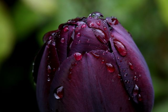 Tulipes 2015 : Queen of Night