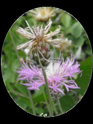 Centaurée blanche