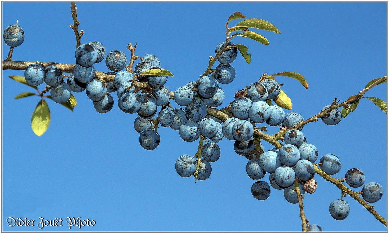 Prunellier / Prunus spinosa