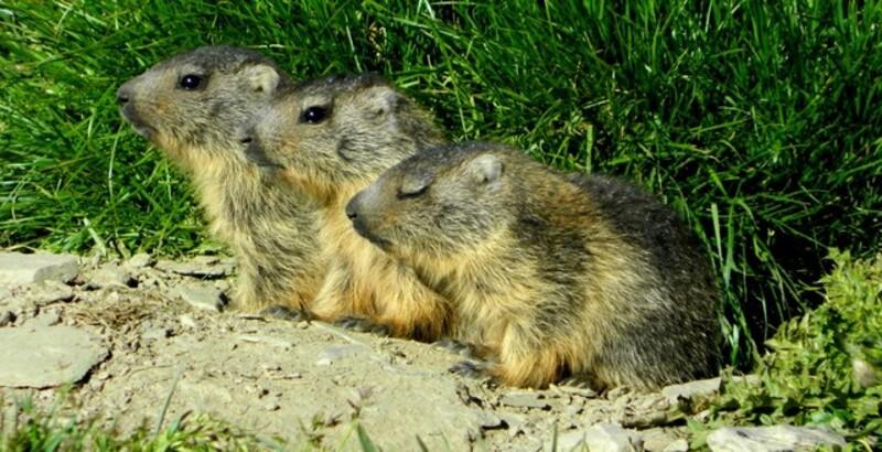 Bonjour.... avec trois petits marmottons...