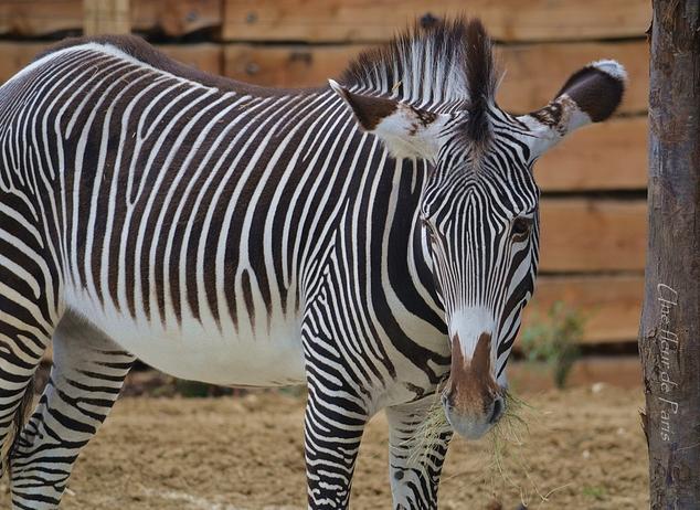 Le Parc Zoologique de Paris : Serdtse le Zèbre de Grévy