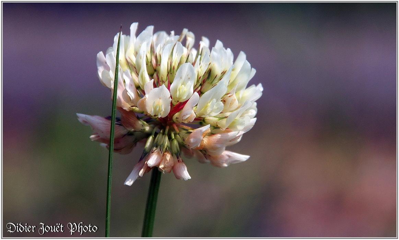 Trèfle Blanc / Trifolium repens