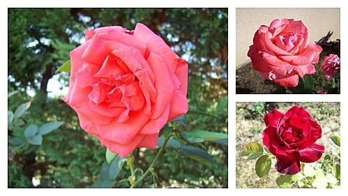 3 roses le 29 oût 2011