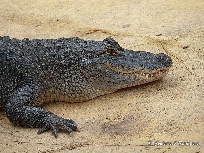 Alligator d 'Amérique