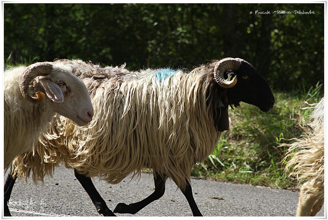 Les moutons de retour de transhumance