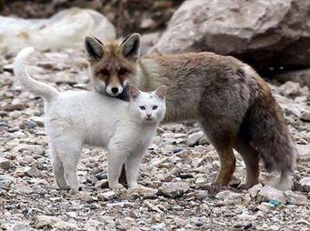 Renard et chat