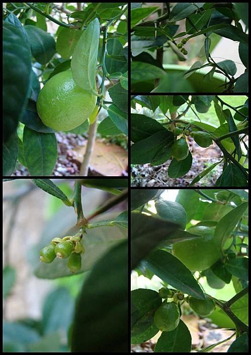 citron-vert-1-novembre.jpg