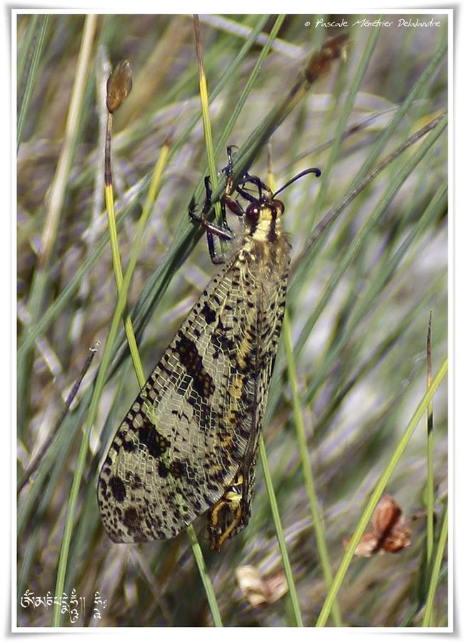Palpares libelluloides - fourmilion géant