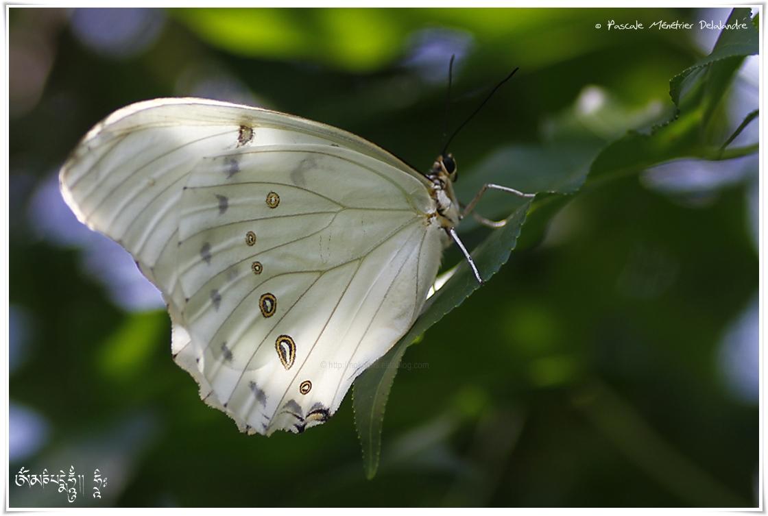 Morpho polyphemus - Nymphalidae