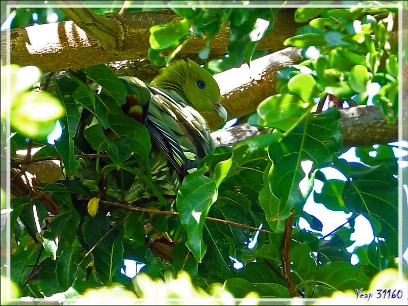 Pigeon vert, Colombar maïtsou, Madagascan Green Pigeon (Treron australis) - Nosy Be - Madagascar