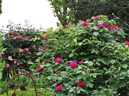Balade parmi les roses 1