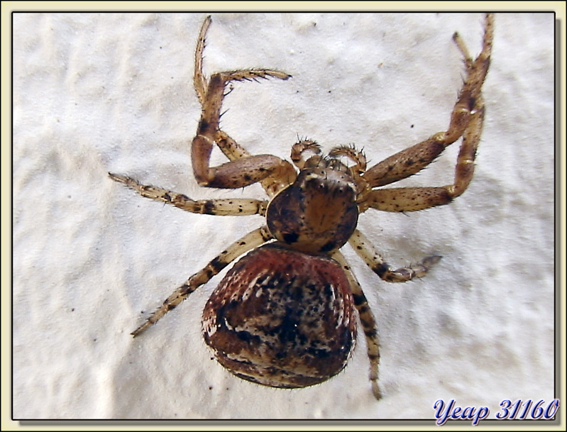 Minuscule araignée thomise OPZYPTILA - La Couarde-sur-Mer - Ile de Ré - 17