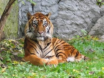 TANZANIE UNE PIECE DE 100 SCHILLINGS WWF LE TIGRE DE SUMATRA dans Numismatique 2016 a1Nc4YvyqoHo5PEmporzPvggPOw@350x263