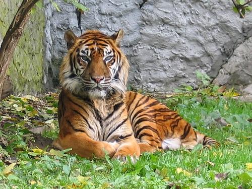 Le tigre de Sumatra : l'extinction ?