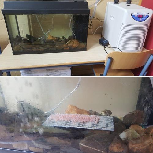 Des oeufs de saumon en classe