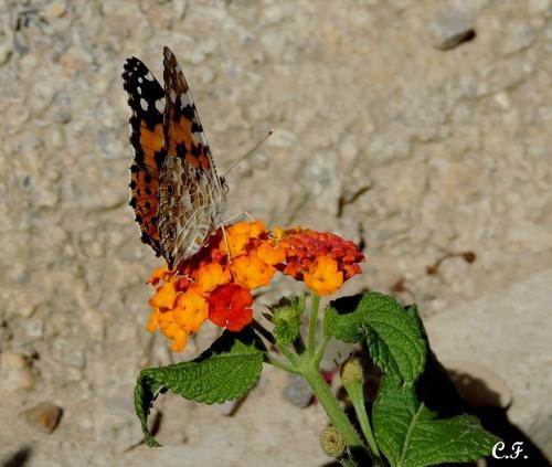 Galerie - Couleurs papillons