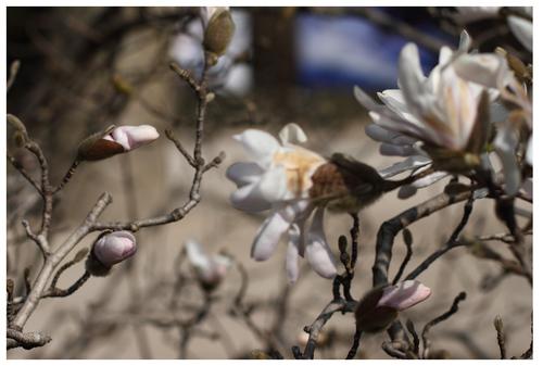 Les Magnolias.