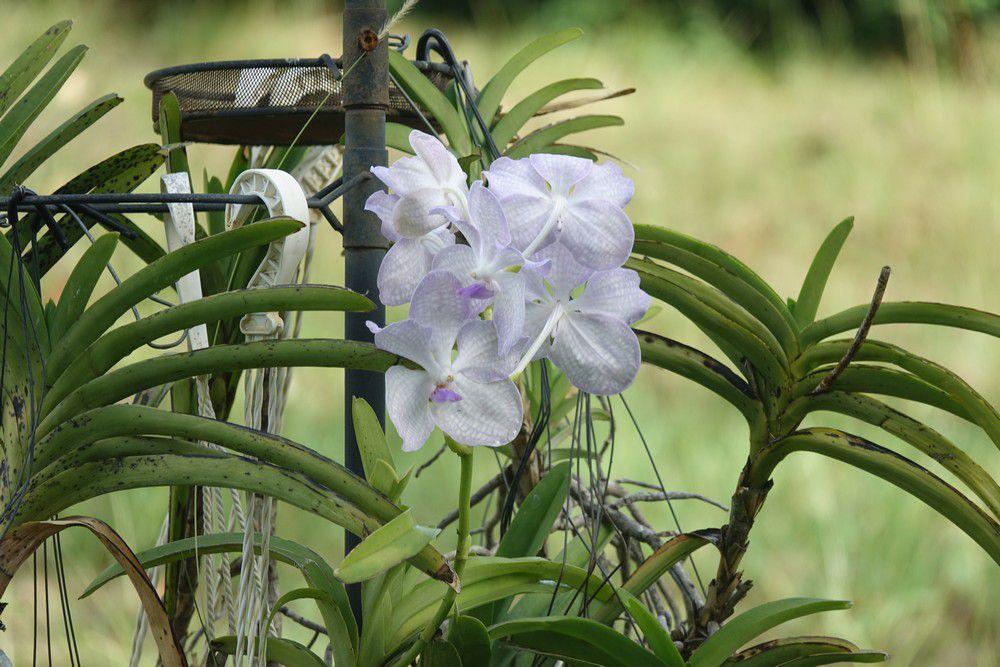 Mes orchidées vandas - août 2020...