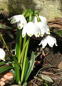 Nivéoles, comme des ombrelles ! - www.dagand.net