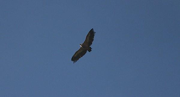 vautour-fauve 3
