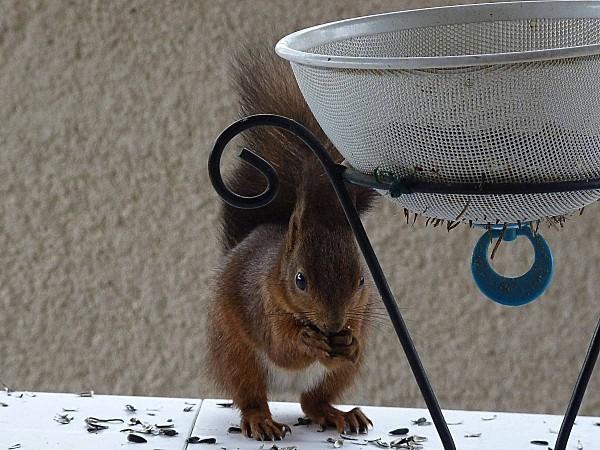 Ecureuils mangeoire F