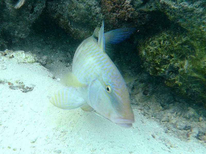 Rouget barbet - Moorea - Polynésie française