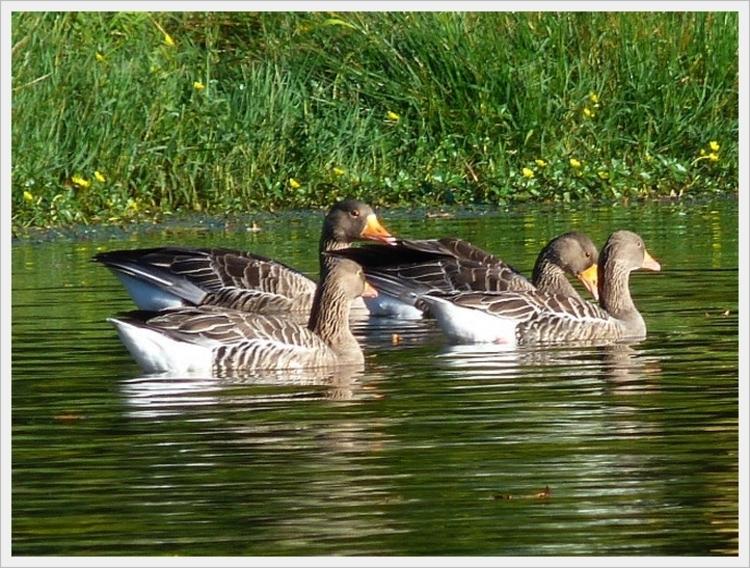 Les canards sur le lac