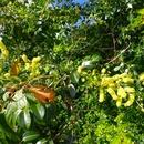La Flore sur le Piton Coeur - Campêche - Photo : Wiki et Giloucat