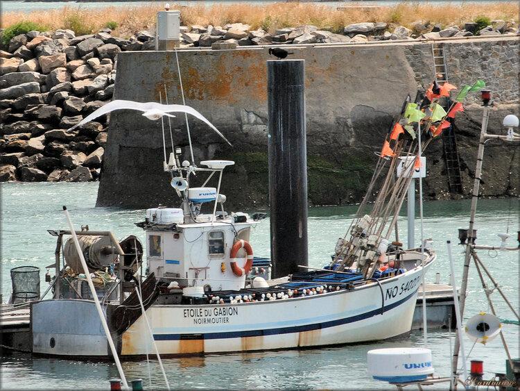 Mouettes et Goélands au port de l'Herbaudière (Noirmoutier)