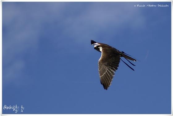 Faucon laggar - Falco jugger - Laggar Falcon