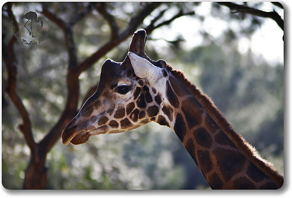 Girafe de Rothschild (giraffa camelopardalis rothschildi)