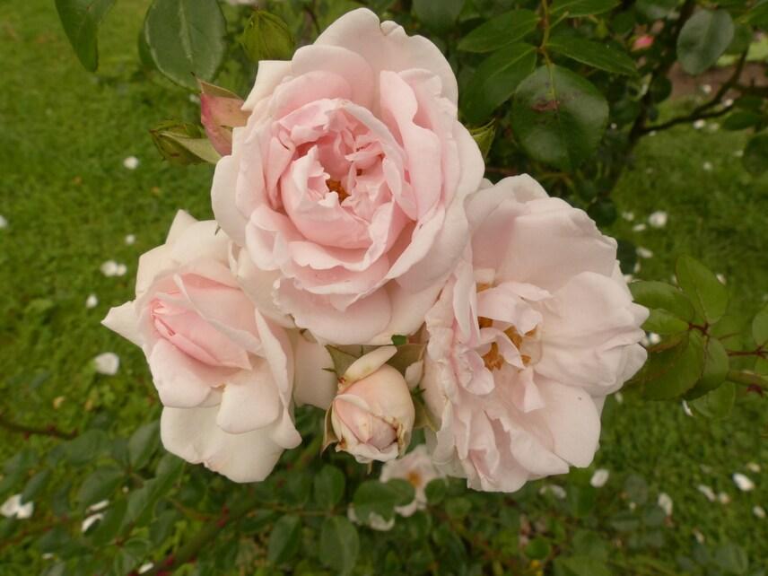 Les roses de Maggy