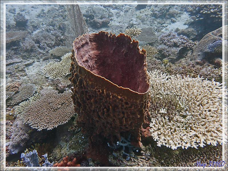 Éponge Baril de rhum, Éponge-barrique, Éponge-tonneau, Barrel-sponge, Basket sponge, Tub sponge (Xestospongia muta) - Bank des Frères - Tsarabanjina - Mitsio - Madagascar