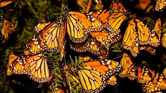 Les papillons monarques plus nombreux au Mexique