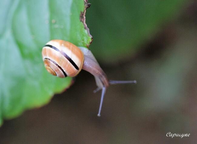 escargot-des-jardins 9009