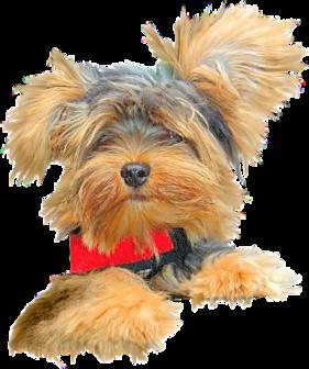 Tubes chiens - thème les yorkshires