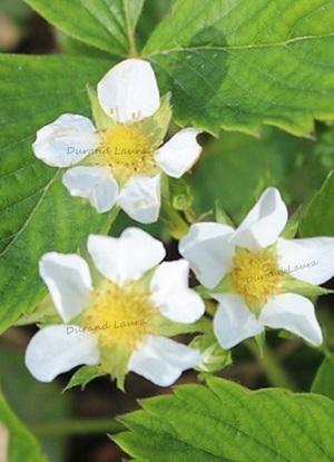 Fraisier - Les fleurs